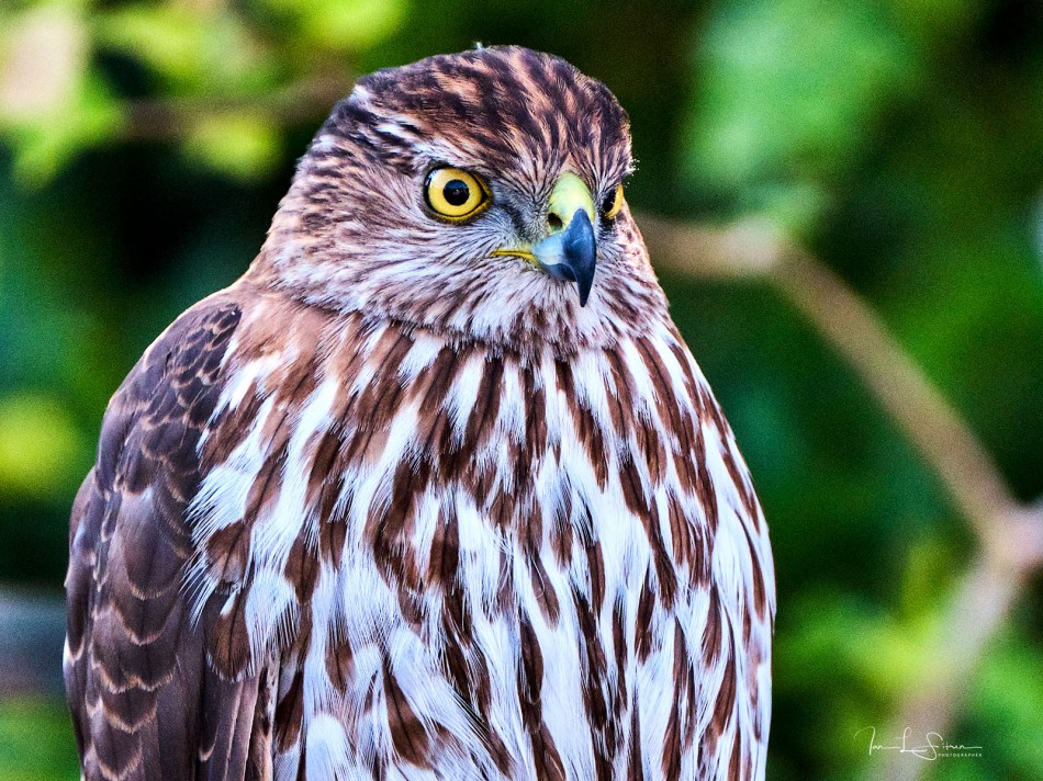 Hawk On A Fence