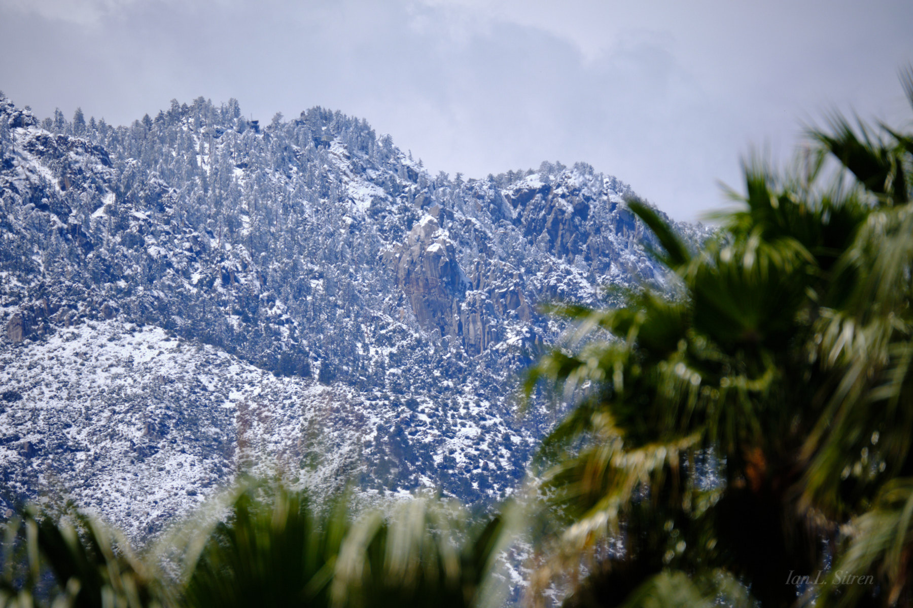 Snow Palms